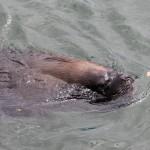 Vette zeeleeuwen ligen naast de markt in het water te wachten op het visafval