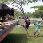 Hoe krijg je een onwillige stier van boord?